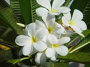 Цветы таиланд